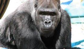 Умерла горилла Коко, знаменитая ученица Фли из RHCP